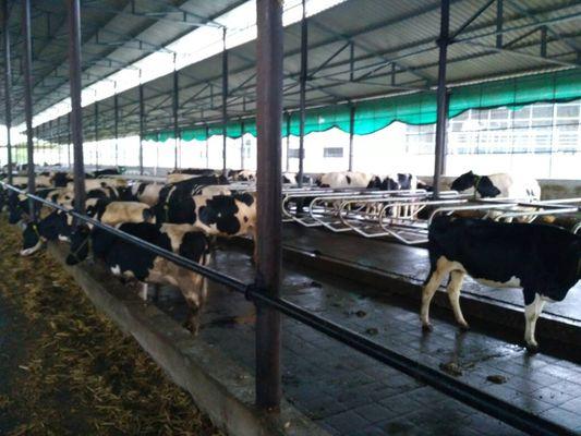 milking parlour_533_400_6